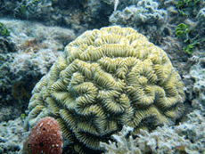 Maze coral (Meandrina meandrites). Photo © Eduardo Klein